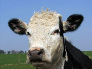 cow-headshot.jpg