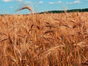 wheat-field.jpg
